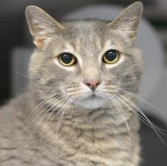 Picture of Eddy gray tabby cat